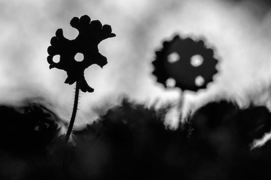Uge Fuertes, Teruel, arte, creatividad,fotografiametáfora visual, simbolismo, naturaleza,  vegetal, art, creativity, expresión, hojas, hayedo, bosque, Urbasa, Saxifraga hirsuta,