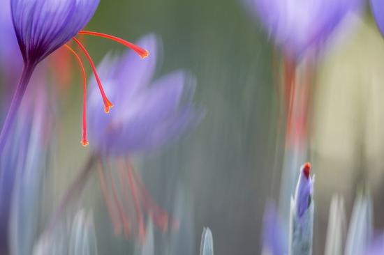 Uge Fuertes, Teruel, arte, creatividad,fotografia, metáfora visual, simbolismo, naturaleza,  vegetal, art, creativity, expresión, alma, exposición,azafrán, museo del azafrán, oro rojo, lila, esta