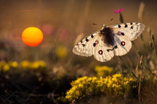 Uge Fuertes, Teruel, arte,impresionismo, creatividad,fotografia, metáfora visual, simbolismo, naturaleza, art, creativity,pintura, pint, dream, insecto,mariposa apolo, Parnassius apollo,