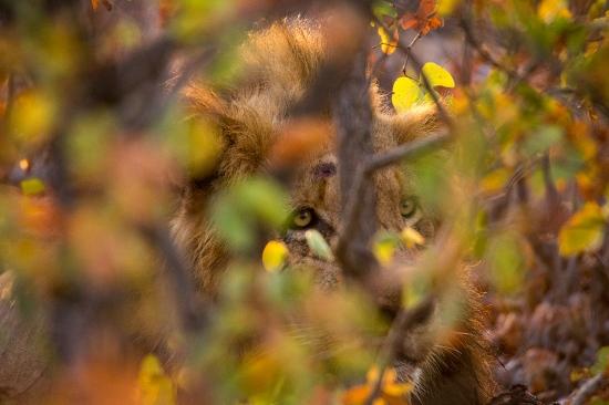 Uge Fuertes, Teruel, arte, creatividad,fotografia, metáfora visual, simbolismo, naturaleza,  vegetal, art, creativity, alma, composición, camuflaje, león, otoño, lion, Kruger,