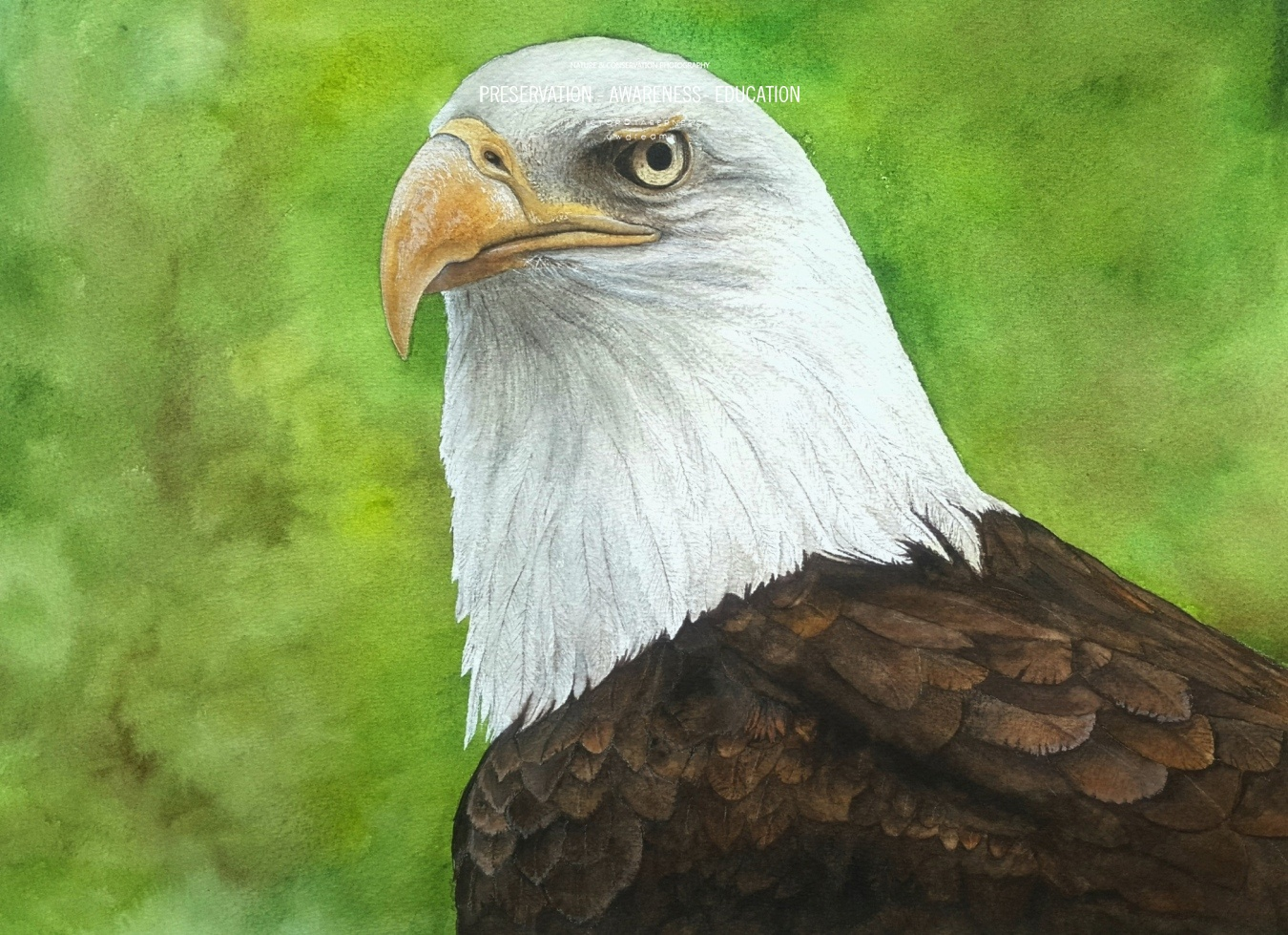 Aguila Calva - 41x31cm - Vida Salvaje - Wildlife Conservation Photography, UWDREAMS.COM
