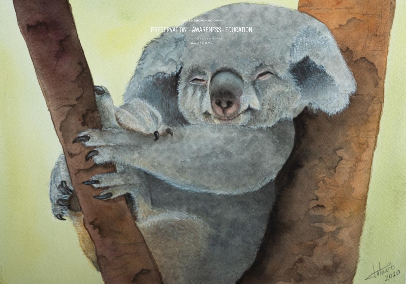 Koala - 31x23cm - Vida Salvaje - Wildlife Conservation Photography, UWDREAMS.COM