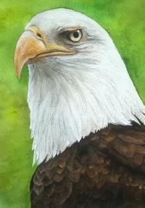Aguila Calva - 41x31cm
