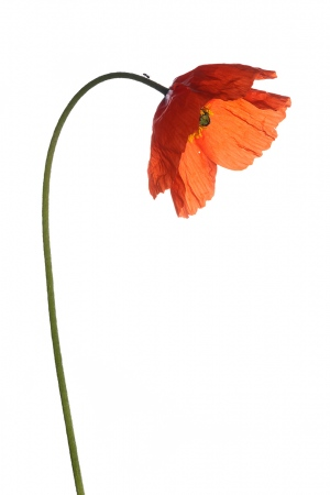 <i>Papaver pinnatifidum. </i>Amapola.