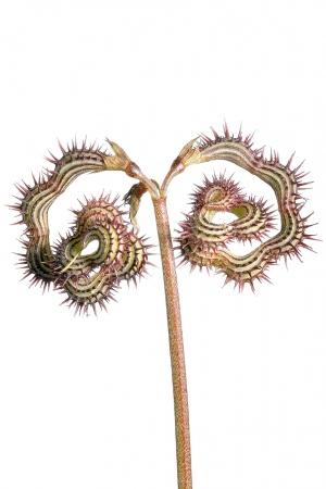 <i>Scorpiurus sulcatus. </i>Hierba de escorpión.