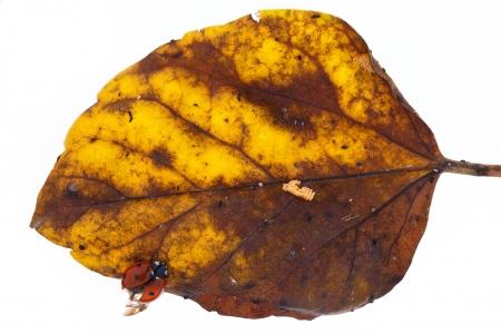 <i>Coccinella septempunctata. </i>Mariquita.