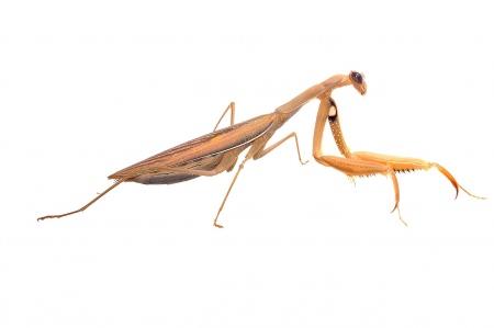 <i>Mantis religiosa.</i>