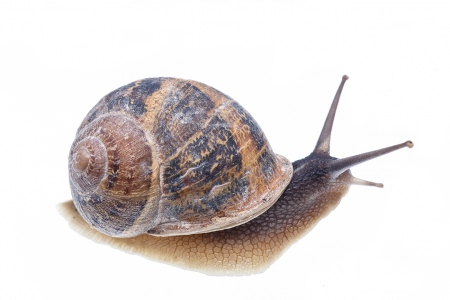 <i>Helix aspersa. </i>Brown garden snail.