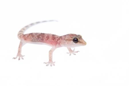 <i>Hemidactylus turcicus.  </i>Salamanquesa rosada.