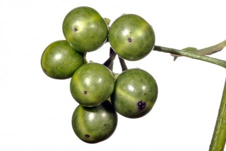 <i>Solanum nigrum </i>(fruit).