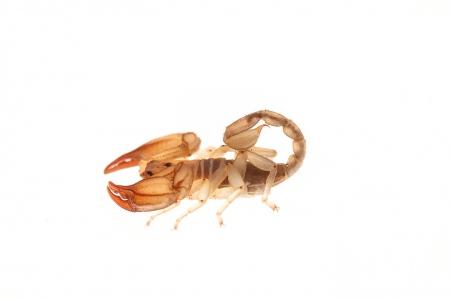 <i>Euscorpius balearicus.</i>