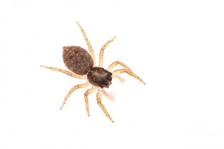 <i>Menemerus semilimbatus </i>(femella).
