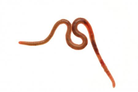 <i>Lumbricus terrestris. </i>Earthworm.