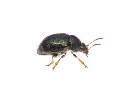 <i>Colaphus sofiae.</i>