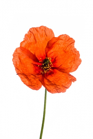 <i>Papaver pinnatifidum.</i>