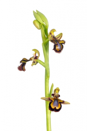 <i>Ophrys speculum. </i>