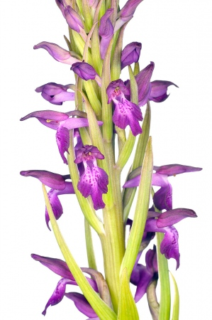 <i>Orchis x albuferensis</i>