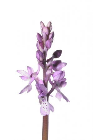 <i>Orchis olbiensis. </i>