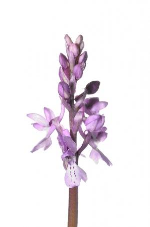 <i>Orchis olbiensis. </i>Abellera de muntanya petita.