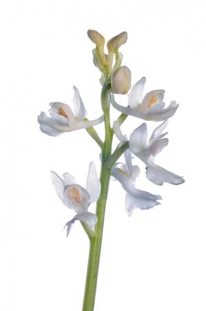 <i>Orchis olbiensis</i>, hipocromática.