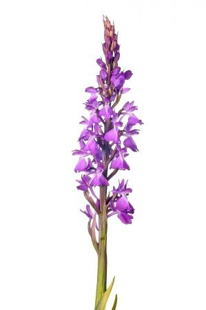 <i>Orchis robusta. </i>Orquídia de prat.