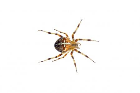 <i>Araneus diadematus.</i>
