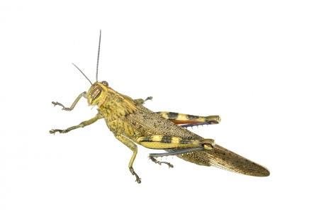 <i>Anacridium aegyptium. </i>Egyptian Locust.