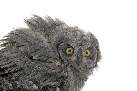 <i> Otus scops. </i> European Scops-Owl.
