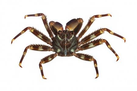 <i>Percnon gibbesi. </i>Cangrejo araña.