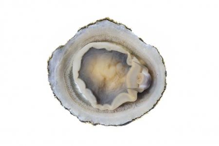 <i>Patella caerulea. </i> Lapa mediterránea. Lapa mediterránea rayada.