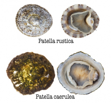 <i>Patella rustica</i> vs <i>Patella caerulea. </i>. Lapa rústica vs Lapa mediterránea.