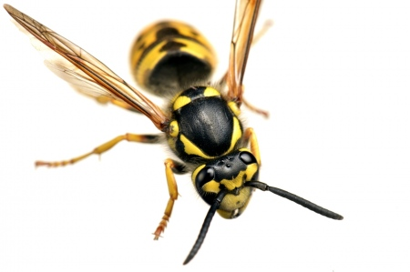 <i>Vespula germanica.</i> Vespa reina-Chaqueta amarilla.