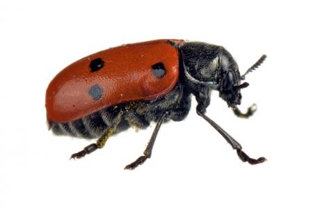 <i>Lachnaia vicina. </i> Poriol.