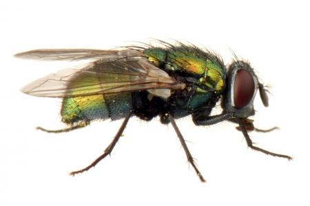 <i>Lucilia sericata. </i>Green Bottle fly.