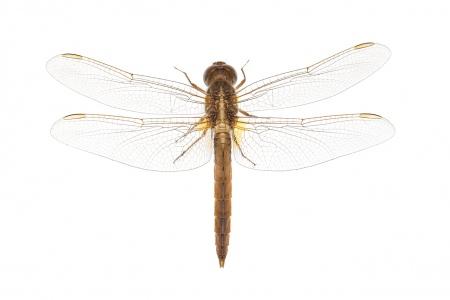 <i>Crocothemis erythraea.</i> (femella)