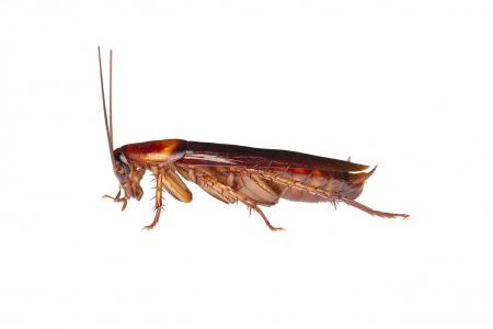 <i>Periplaneta americana.</i> American cockroach.