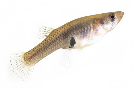 <i>Gambusia afinis </i>(female). Gambusia.