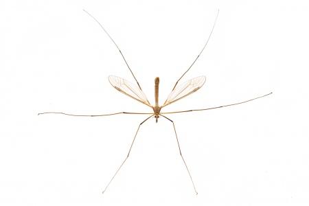 <i>Tipula sp.</i>