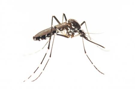 <i>Aedes albopictus.</i> Asian tiger mosquito.