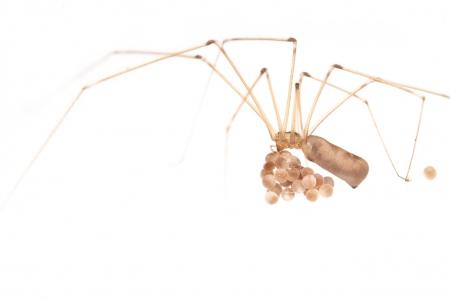 <i>Pholcus phalangioides.</i> Aranya de potes llargues.