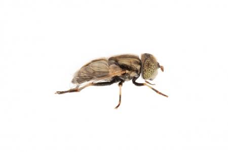 <i>Eristalinus aeneus.</i>