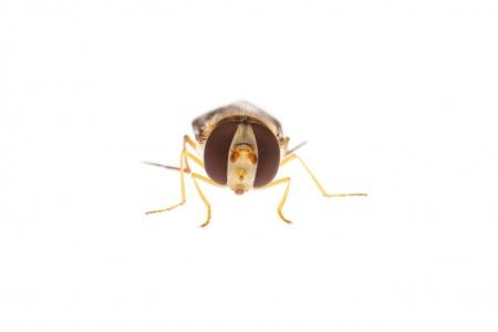 <i>Episyrphus balteatus. </i>