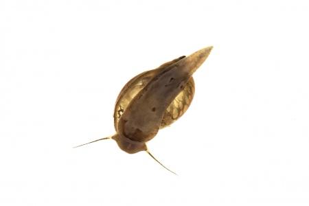 <i>Physella acuta </i>