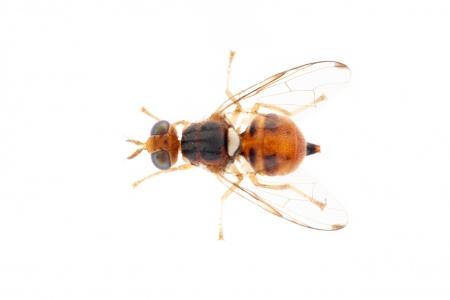 <i>Ceratitis capitata.</i> Mediterranean fruit fly.