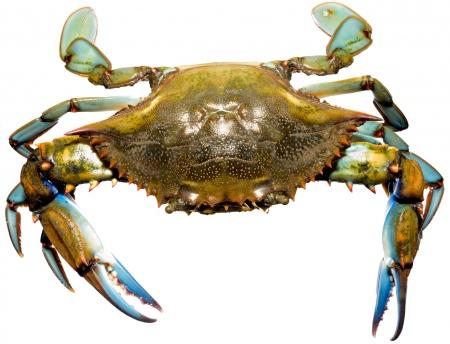 <i>Callinectes sapidus. </i> Blue crab.