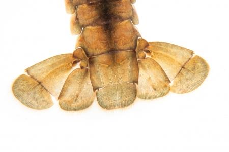 <i> Procambarus clarkii.</i> Red swamp crawfish.