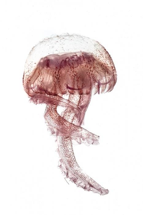 <i>Pelagia Noctiluca.</i> Jellyfish.