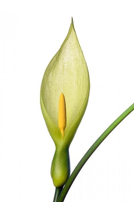 <i>Arum italicum.</i>
