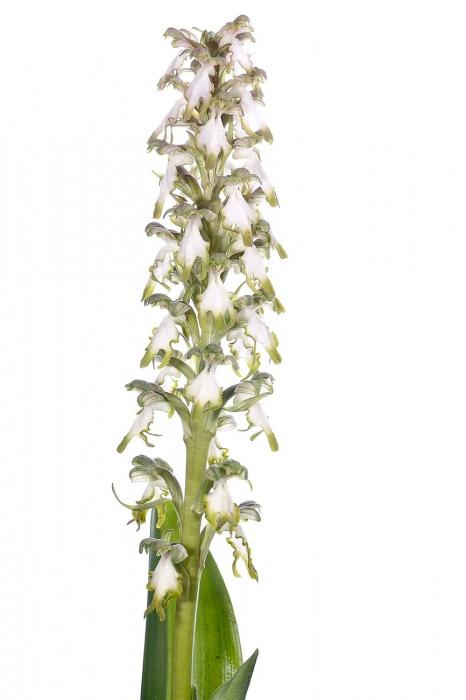 <i>Himantoglossum robertianum </i>(hipocromática). Mosca grossa.