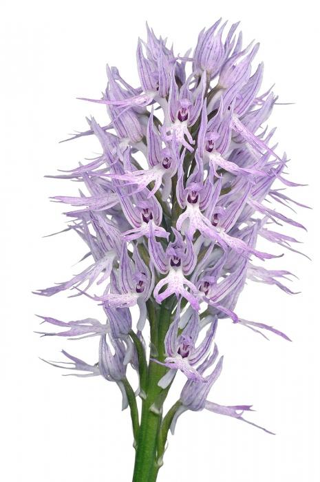 <i>Orchis italica. </i>Abellera vera.